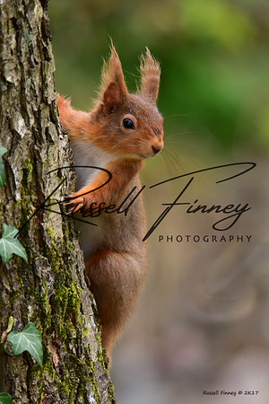 Red Squirrel russellfinneyphotography (4)