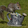 Squirrel Grey russellfinneyphotography (130)