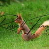 Red Squirrel russellfinneyphotography (5)