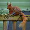 Red Squirrel russellfinneyphotography (1)