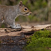 Squirrel Grey russellfinneyphotography (100)