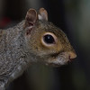 Squirrel Grey russellfinneyphotography (102)