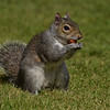 Squirrel Grey russellfinneyphotography (103)