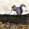 Squirrel Grey russellfinneyphotography (97)