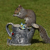 Squirrel Grey russellfinneyphotography (132)