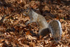 Squirrel, Shenandoah National Park
