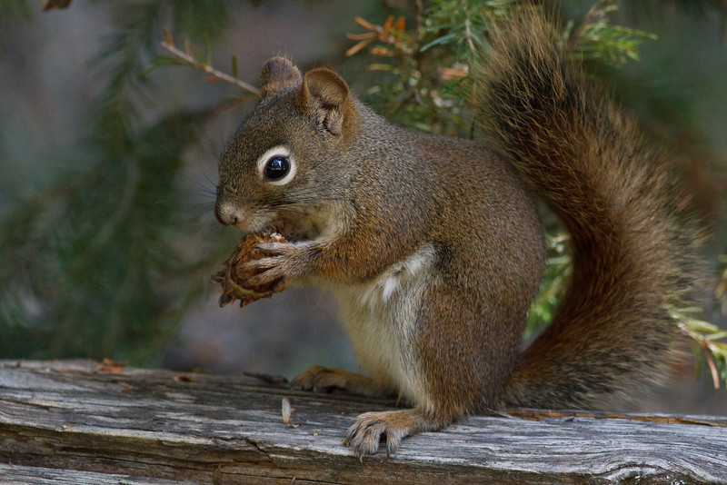 American Red Squirrel, Yellowstone National Park