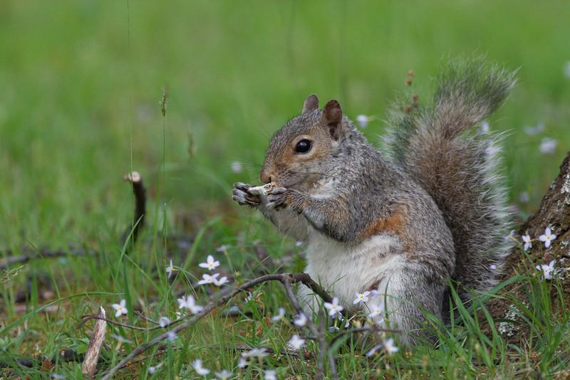 Gray Squirrel, Shenandoah National Park