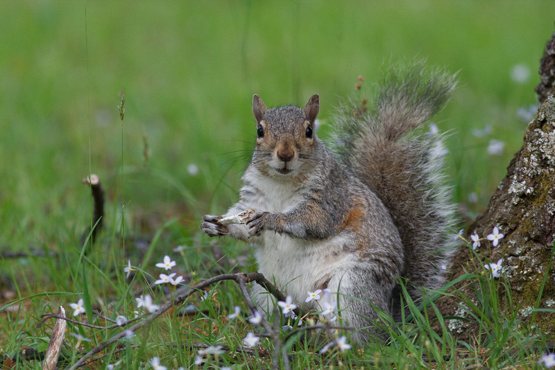 Eastern Gray Squirrel, Shenandoah National Park
