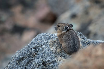 Pika on Watch