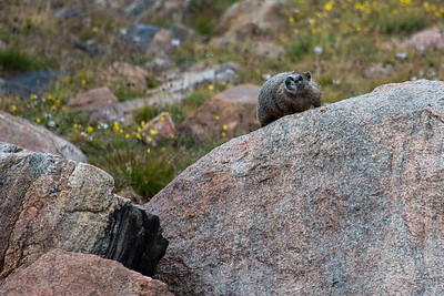 Marmot Playground II