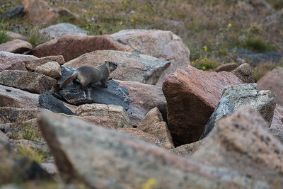 Marmot Playground I