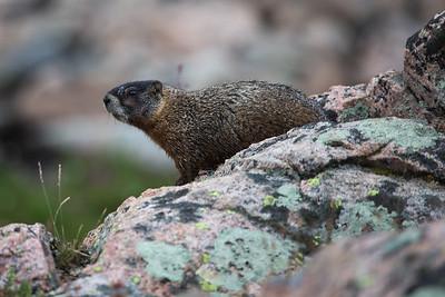 Marmot Playground III