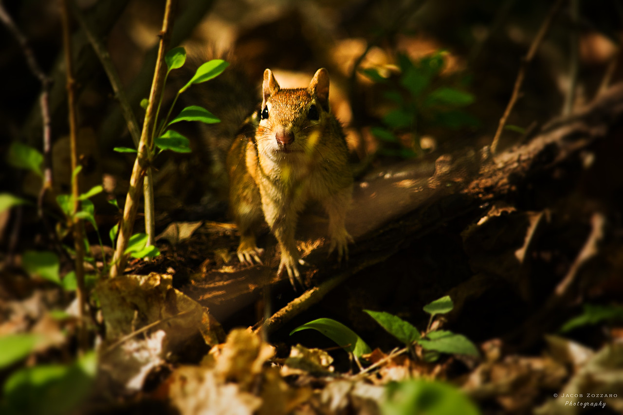 Chipmunk on Broken Branch
