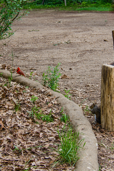 Squirrel and Cardinal