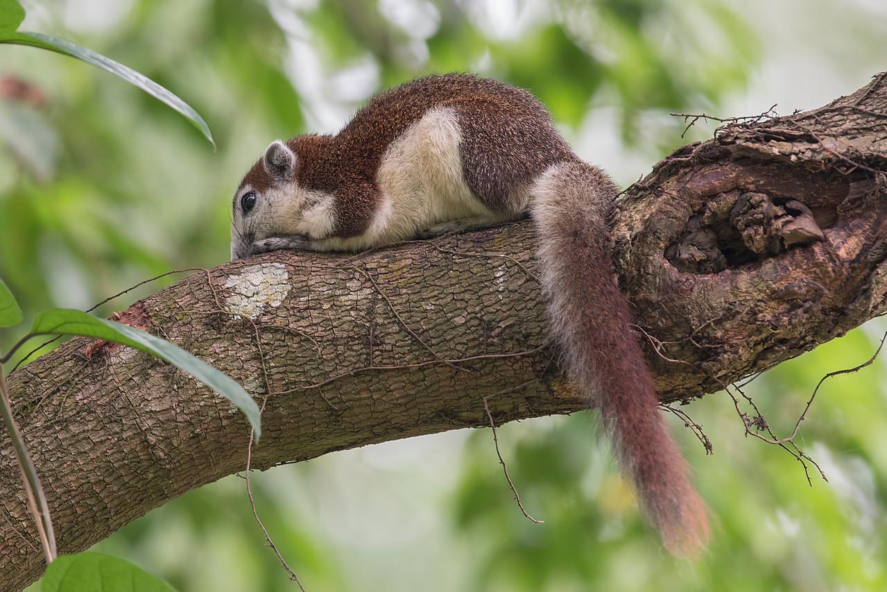 Variable Squirrels (Finlayson's Squirrel)