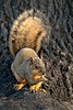 Mammals, rodents, squirrels, fox squirrel, wildlife