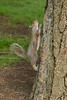 Mammals, gray squirrel, wildlife