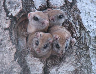 Flying Squirrels 4