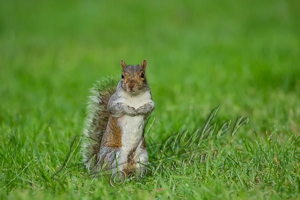Mammals, gray squirrel, wildlife