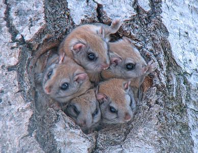 Flying Squirrels 5