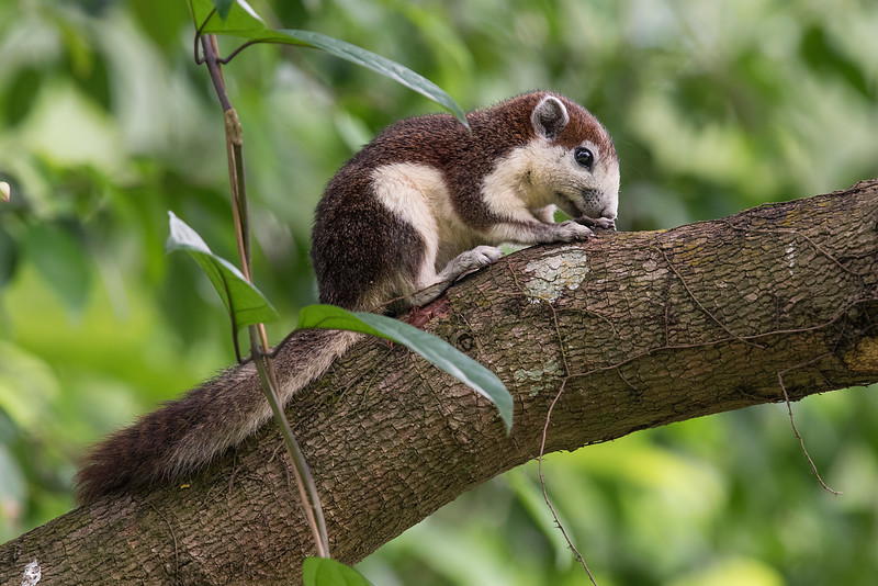 Variable Squirrels (Finlayson's Squirrel)