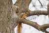 Fox squirrels, mammals