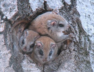 Flying Squirrels 2