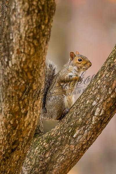 Gray squirrels, mammals