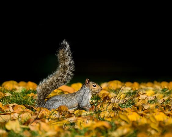 Gray squirrels, mammals, wildlife