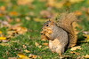 Mammals, rodents, squirrels, fox squirrel, wildlife