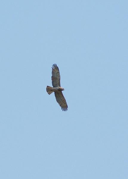 Agila Culebreras, Short Toed Eagle