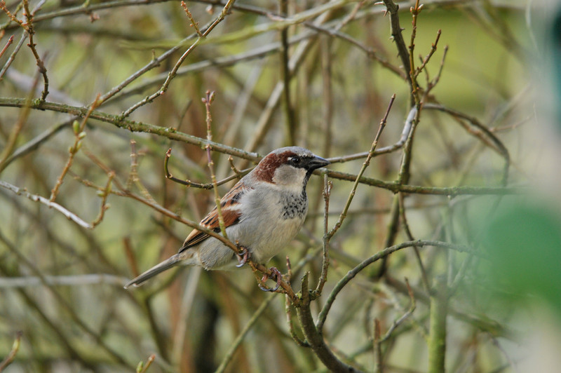 Sparrow, back garden,
