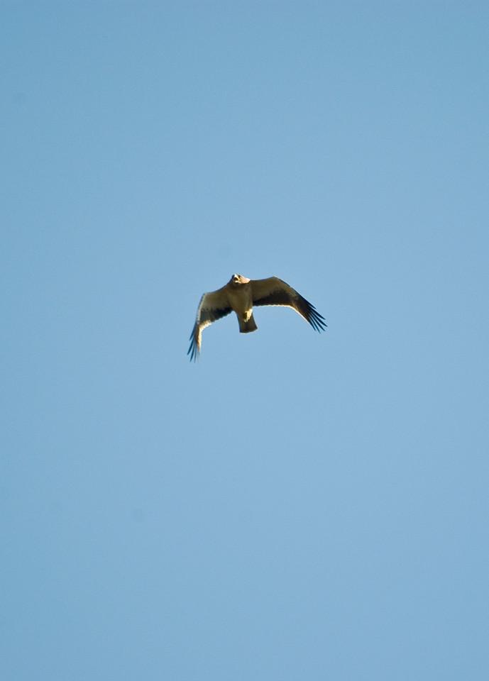 Aguila Calzada, Booted Eagle, Extremadura, Spain.