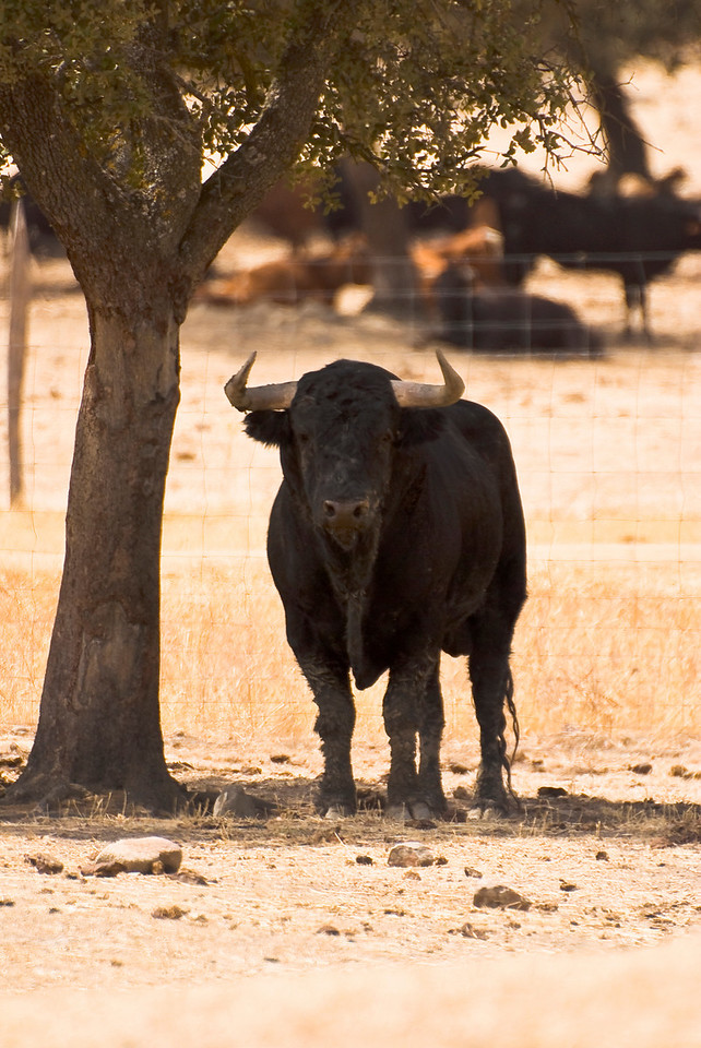 "Toro, Finca El Torreon, Cesar Rincon, Extremadura, Spain<br /> He was really giving me the ""eye""!"
