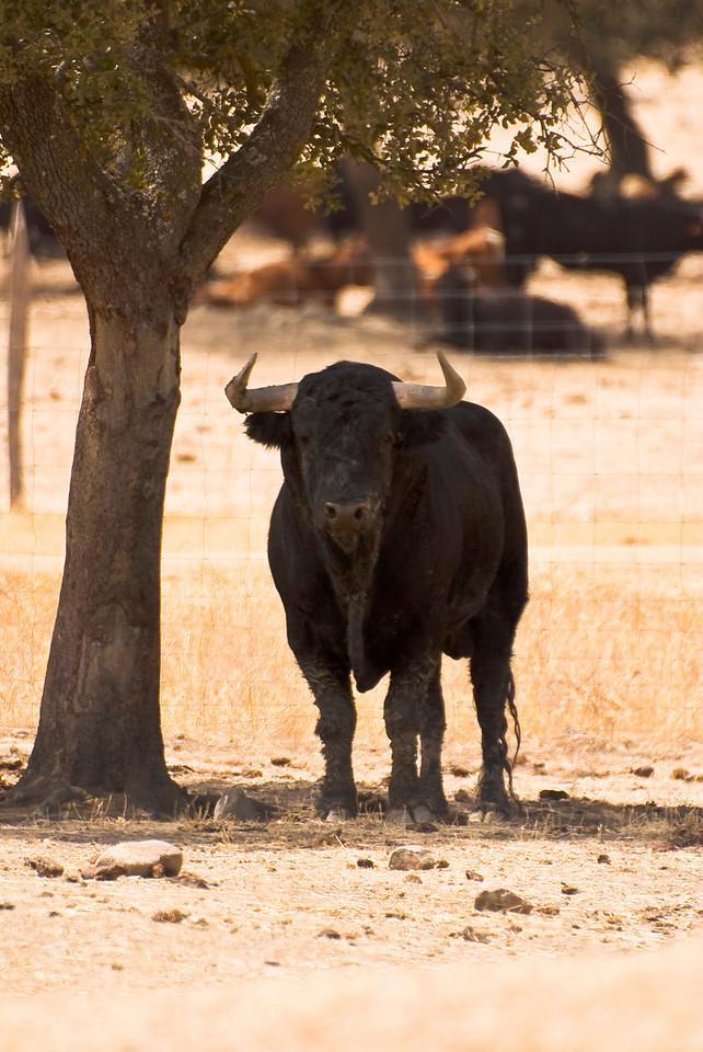 "Toro, Finca El Torreon, Cesar Rincon, Extremadura, Spain<br /> He was really giving me the ""eye""!"