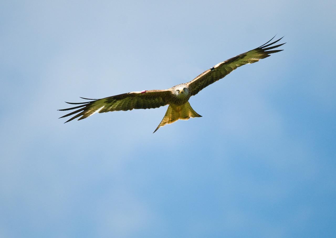 "INCOMING!! I think it's pretty rare to get ""eye to eye"" with a Red Kite!"