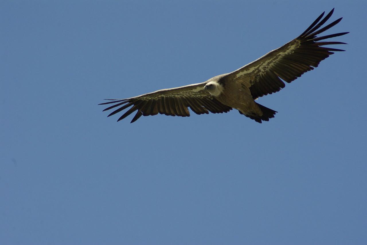 Griffon Vulture, Monfrague, Extremadura, Spain