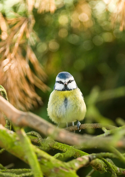 Blue Tit on branch.
