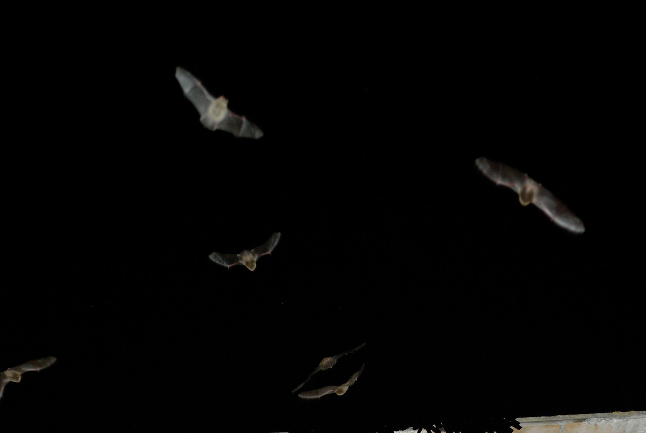 Bats, Guadalupe,  Extremadura, Spain