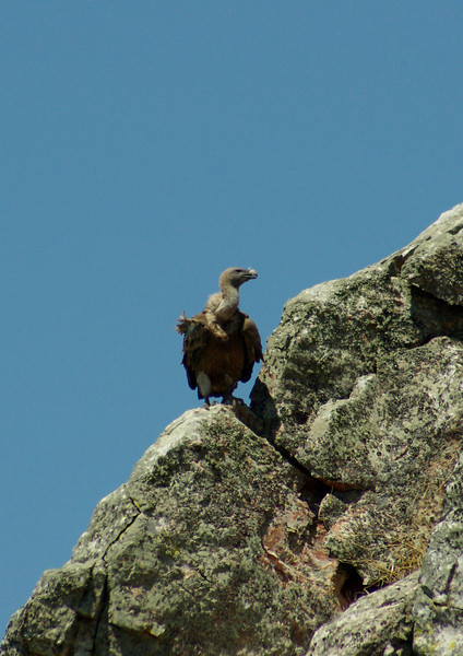 Griffon Vulture resting, Monfrague, Extremadura, Spain