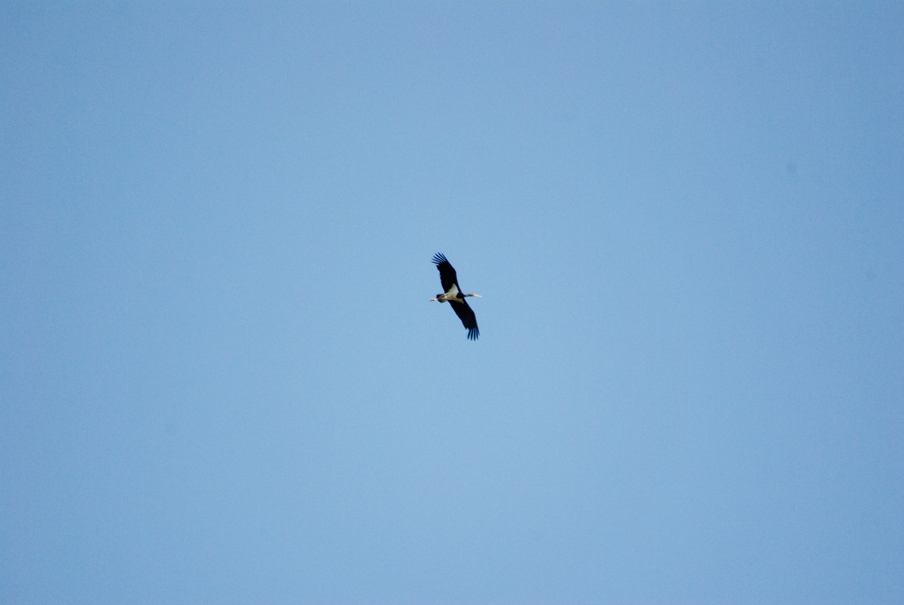 Ciguena Negro. Black Stork. Secret Location, Extremadura, Spain.