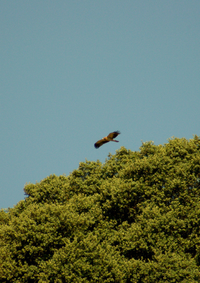 Booted Eagle, Extremadura, Spain