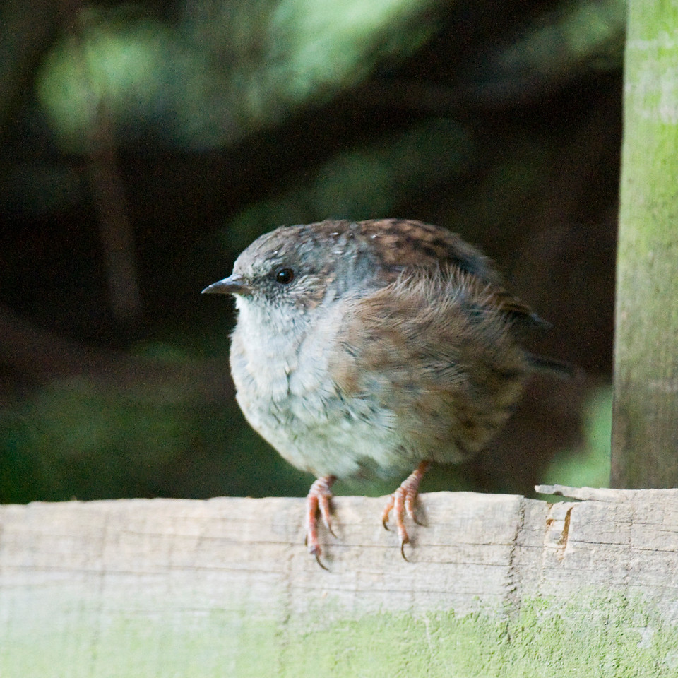 Dunnock. First go at a bird with the new lens (Nikon 200-400 F4). Taken well after sunset, it was almost dark!