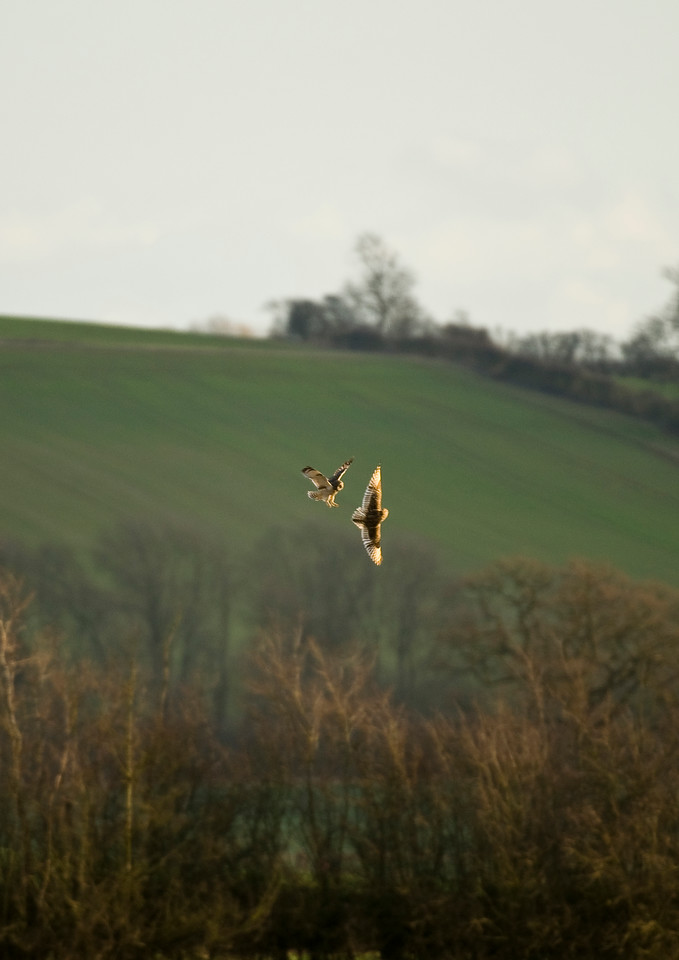 Two Short Eared Owls having a domestic over the groceries