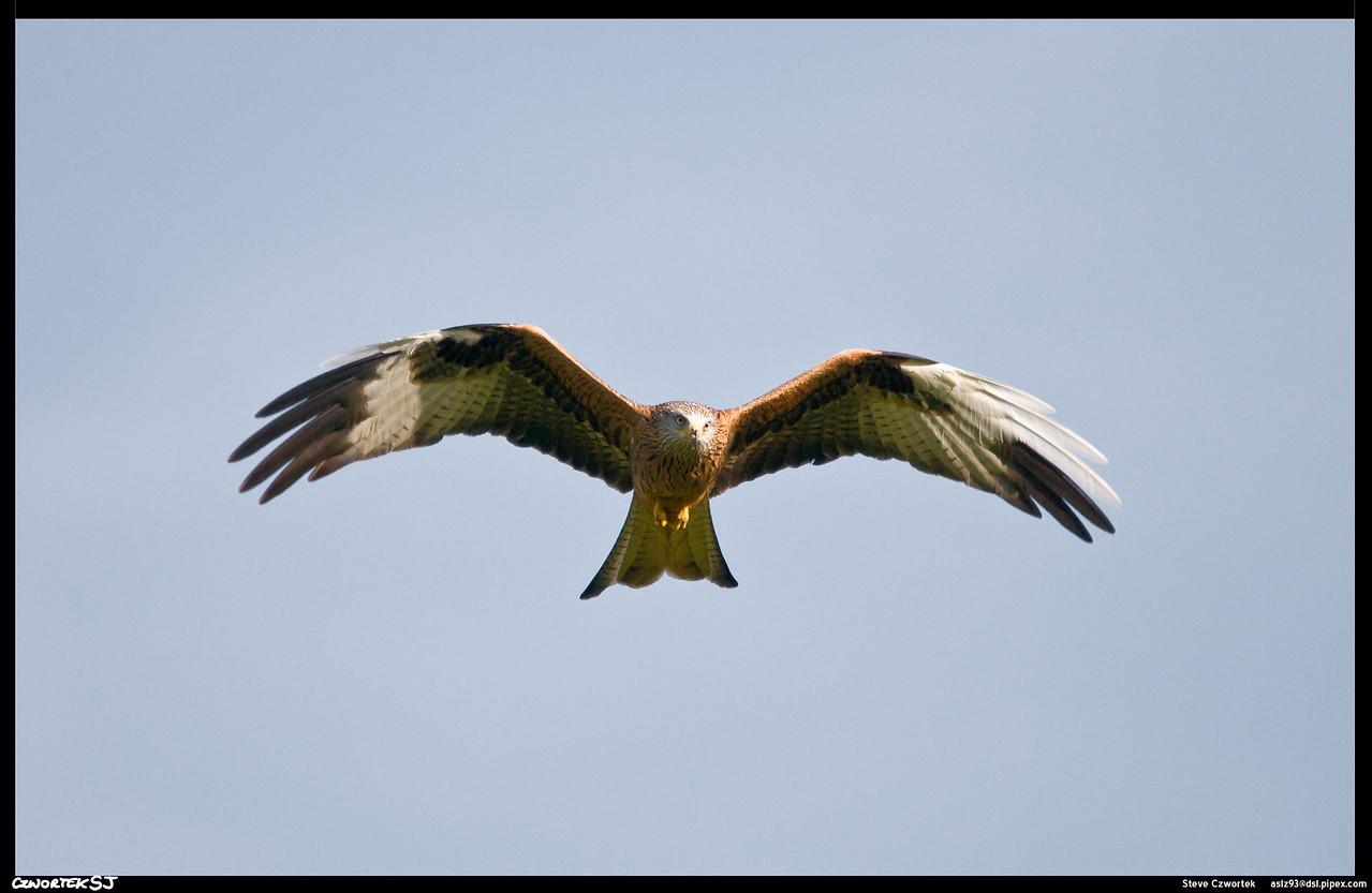Red Kite,  GigrinFarm