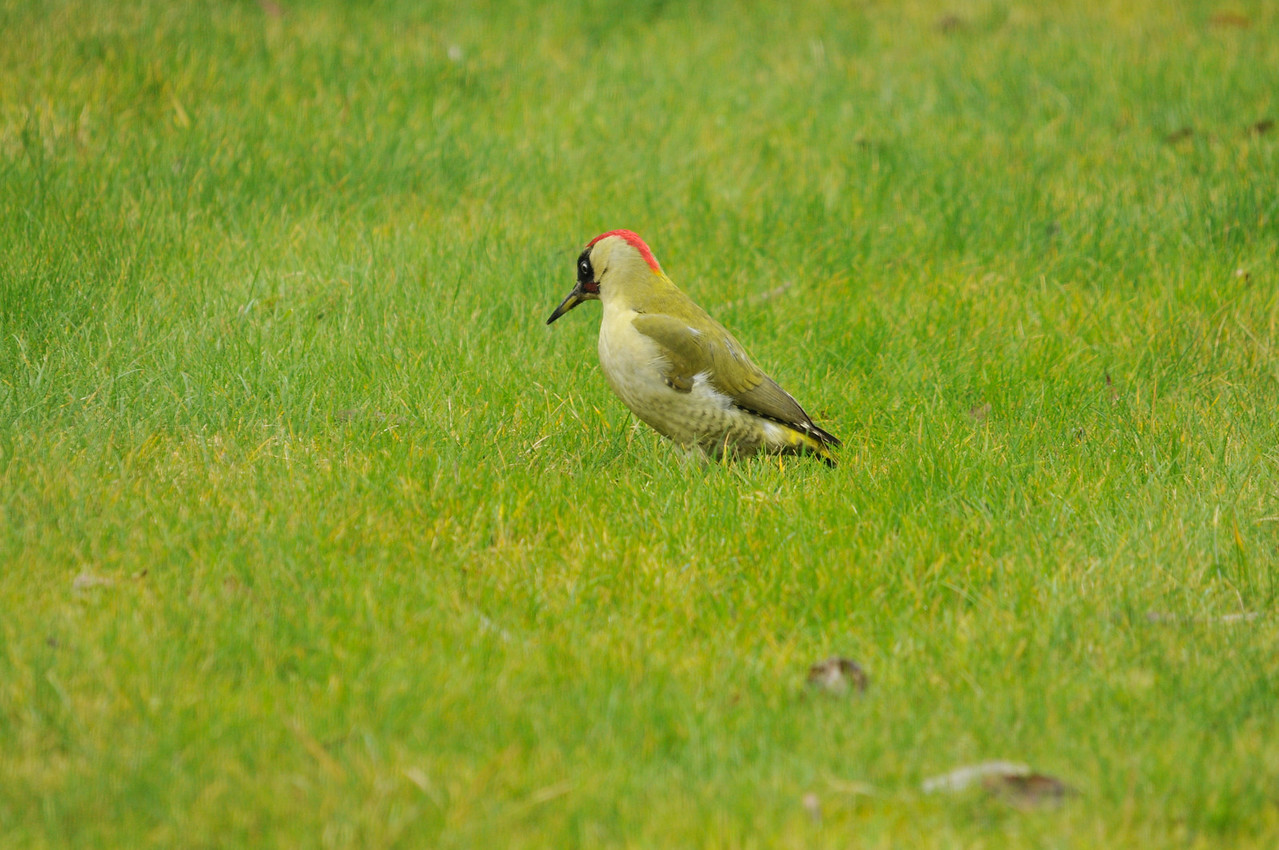 Green woodpecker, back garden