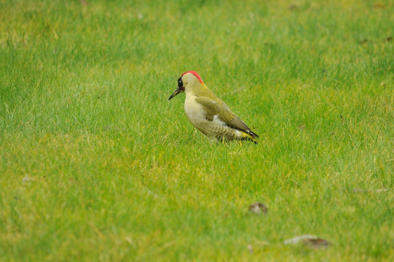 Green woodpecker, back garden