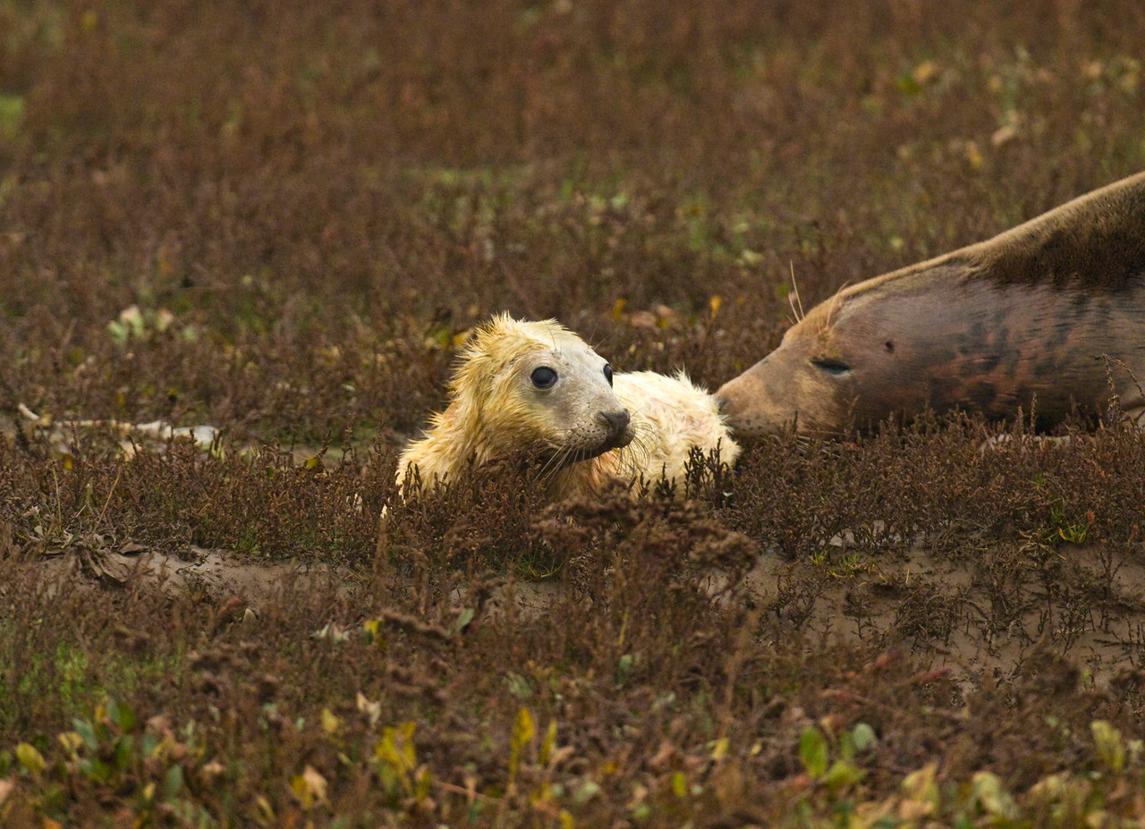 New born seal pup about 15 minutes old. Donna Nook, Lincs, England