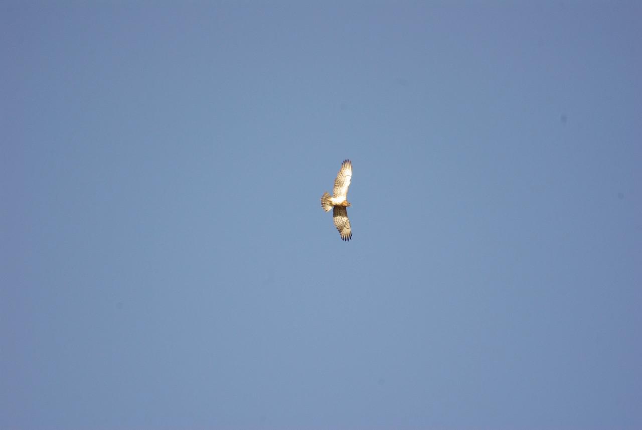 Aguila Culebreras. Short Toed Eagle. Guadalupe, Extremadura, Spain.
